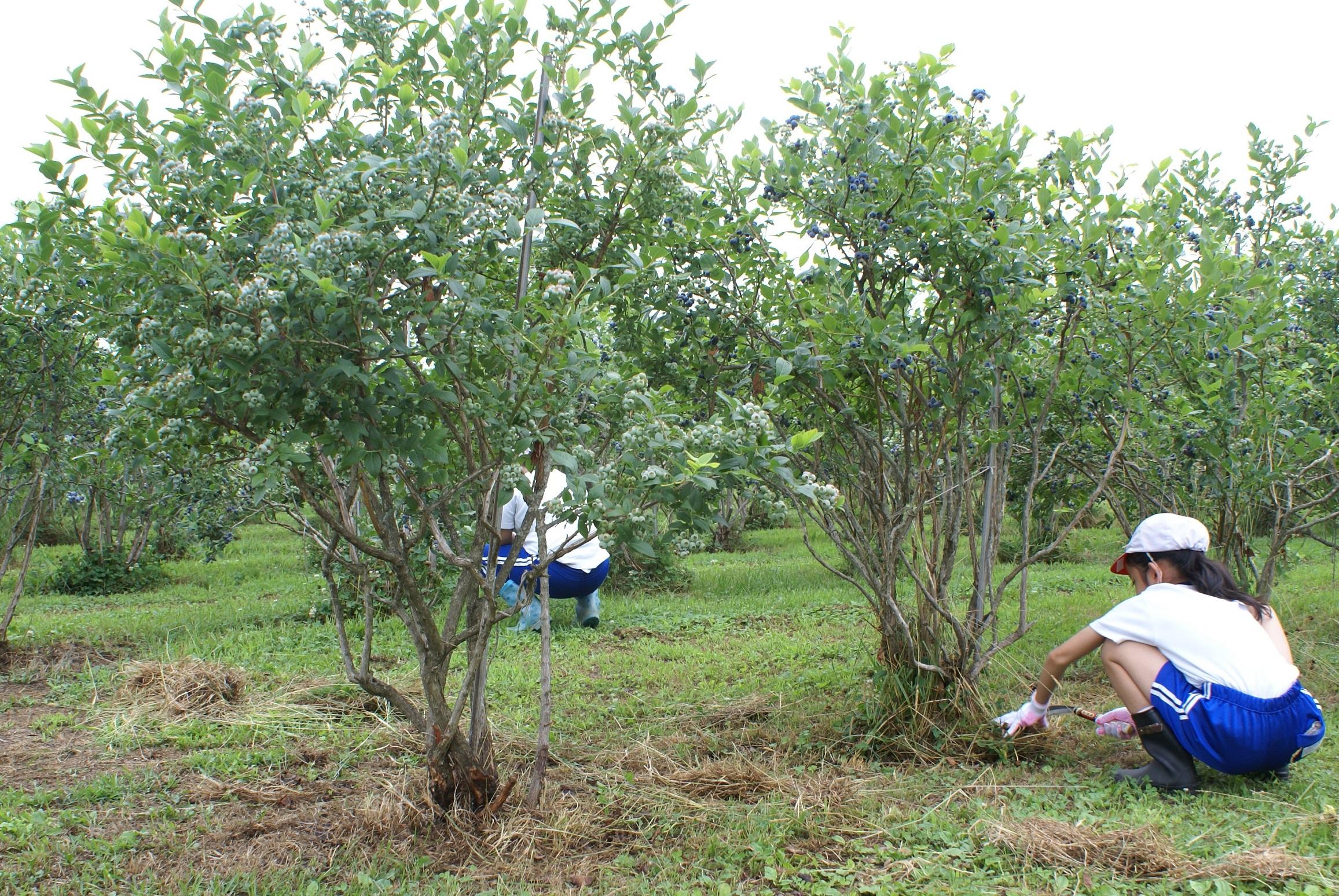 農業体験ブルーベリー