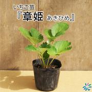 いちご苗 章姫(あきひめ)/9cmポット苗/3株セット
