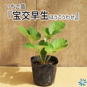 いちご苗 宝交早生(ほうこうわせ) /9cmポット苗/3株セット
