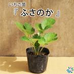 いちご苗 ふさの香 /9cnポット苗/3株セット